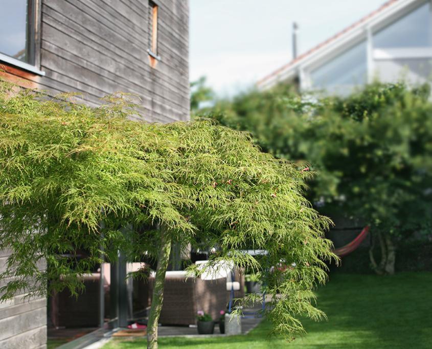 Gartenumänderung Mehrfamilienhaus Bepflanzungskonzept Ahorn